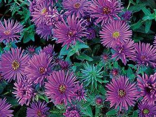 Comment planter les semis de l'aster et obtenir un magnifique jardin de fleurs?