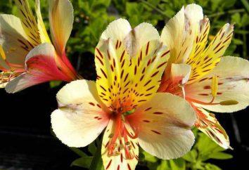 A Língua das flores: Alstroemeria. flor Significado