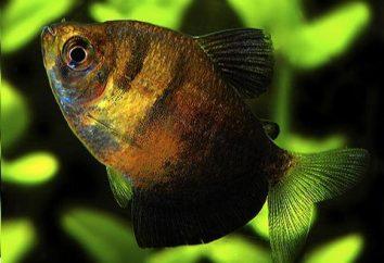 aquarium noir tétra poissons: Princesse du royaume sous-marin