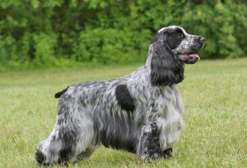 Anglais race de chien. race de chien la reine d'Angleterre