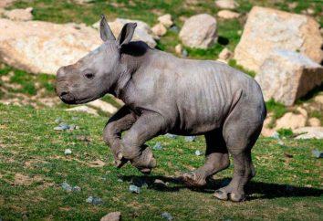 Tipos de rinocerontes: Descrição. O que você chama rinoceronte do bebê?