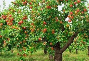 Wie pflanzen Apfelbäume und das Recht, einen Sämling zu wählen