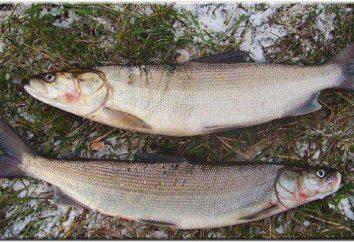 Inconnu: que tipo de peixe, como preparar? Inconnu: receitas com fotos. Preparação de peixe branco, no forno