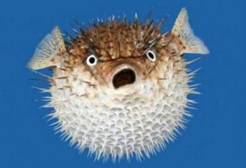 Ryby piłka akwarium (tetraodon). Trujący miska ryby: opis rasy