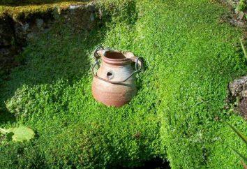 soleyroliya décoratifs: les soins à domicile, l'élevage, les photos