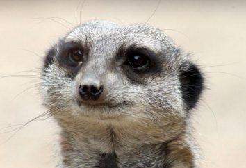 Qui est le suricate? Suricates: description, photo