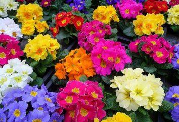 vulgaris Primula: cuidados em casa, crescendo a partir de sementes