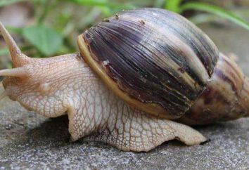 Jak wybrać grunt dla ślimaków. Achatina: w domu poprawy i utrzymania zasady