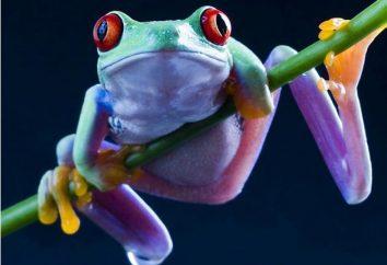 Żaba drzewna … Dlaczego jej piosenki są słychać coraz mniej?
