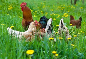Maran – poules de race. poulets Maran race: l'élevage, l'entretien