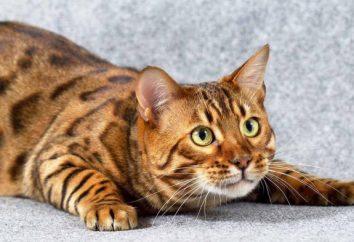 Bengal cat: opis rasy, pielęgnacja i opinie