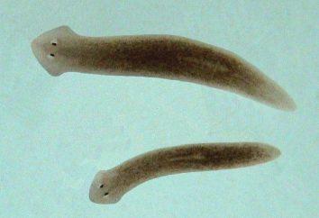 Des vers à plat. Que mangent les flatworms?