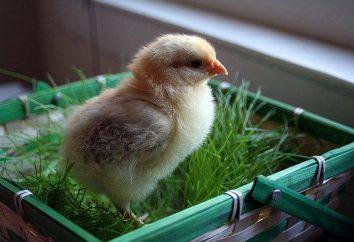 Cómo determinar el sexo de un pollo? ¿Cómo distinguir entre los pollos en el suelo?