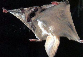 Polatucha: szybownictwo gryzoni