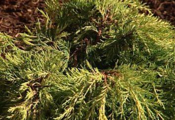 Juniperus squamata – ospite dalla Cina