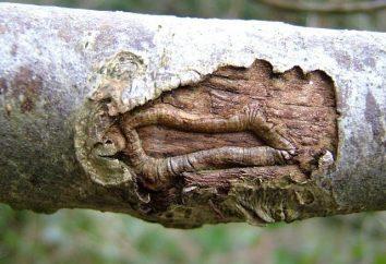 Maladie de l'écorce du pommier. Manifestations et traitement