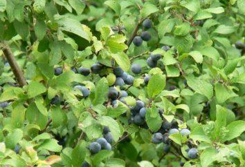Tarniny jagód: korzyści i szkody
