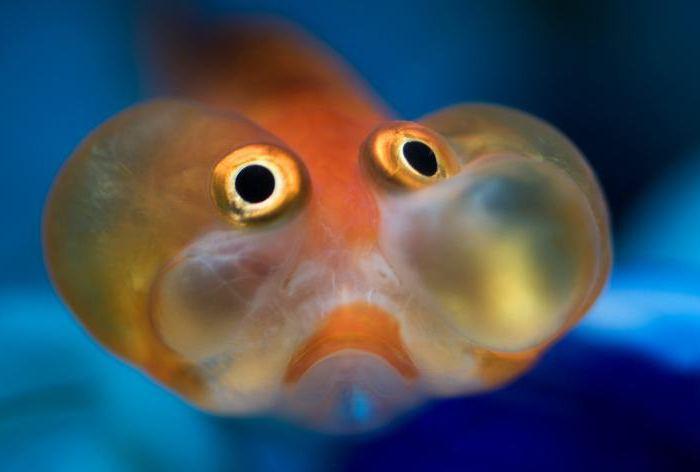 Der lustigste fisch der welt das dritte auge for Welche fische passen zu kois