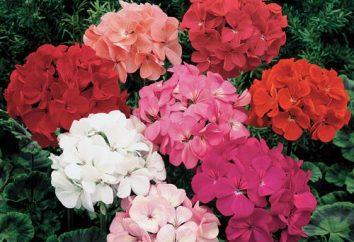 Géranium: prendre soin de miracle de la floraison