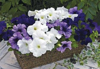 Petunia grandiflora: culture de semences (photo)