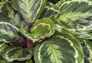 """Flower """"Calathea medaglione"""": la cura a casa, in particolare la coltivazione e la propagazione"""