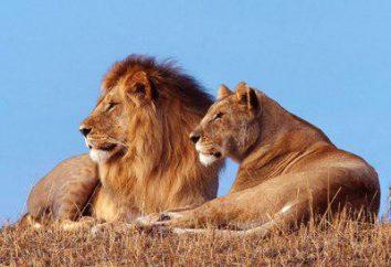 Dove le vite di leone? Varietà e gamma di animali propagazione