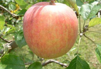 Odmiany jabłoni: Lato wcześnie dojrzały i nie są przechowywane przez okres dłuższy niż dwa tygodnie