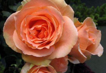 Fiore di rara bellezza – rose Versilia