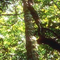 Rosewood et la puissance magique de son huile essentielle