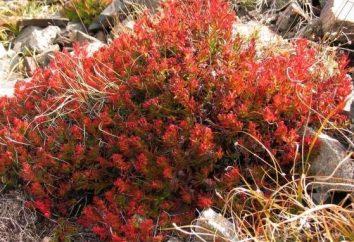 La fuerza de las hierbas medicinales: cómo hacer que el útero tierras altas y cepillo rojo