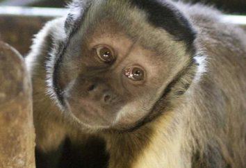 Brown capucin: la vie dans la nature, élevage