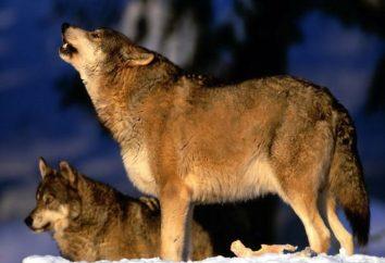 Il lupo in natura. La durata della vita dei lupi