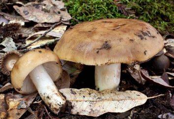 Pilze Grundeln: wie sie ihre köstlichen vorbereiten?