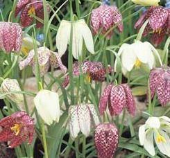 Pflanzung im Herbst Nörgelei müssen sicherstellen, dass sie im Frühjahr blühen