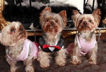Modello tute York. Tuta modello per i piccoli cani. cane tuta lavorata a maglia