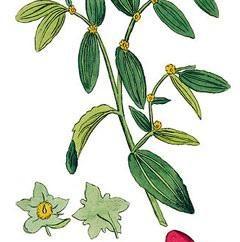 jujube chinois: la culture et la propagation. Date chinoise (jujubier): plantes
