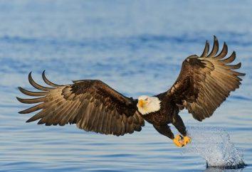 Ptaków drapieżnych z białym głowy, gatunki obszarze siedliska, żywności i reprodukcji