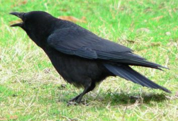 Adivinanzas sobre Crow – familiaridad con el pájaro