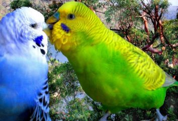 Jak odróżnić samice od samców Papużka falista przy zakupie