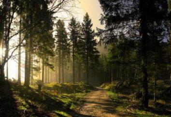 Oleoresina pino: proprietà terapeutiche e controindicazioni