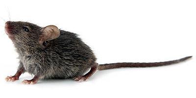 souris dans maison comment fabriquer un pige souris fait maison remarquez les marques noires. Black Bedroom Furniture Sets. Home Design Ideas