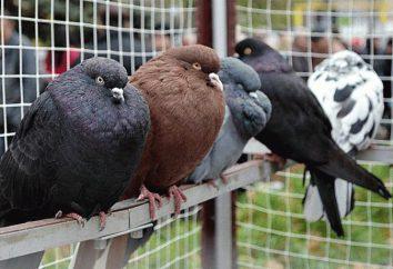Nikolaev Tauben – Vögel, die auf der ganzen Welt geschätzt werden