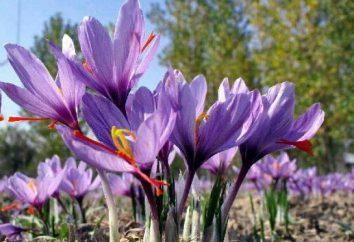 fiore di zafferano, medicina e spezie