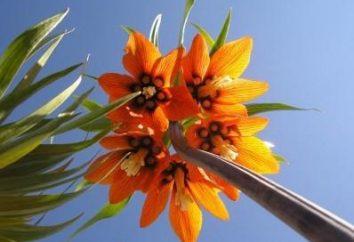 Imperial fritillary: sadzenie i pielęgnacja roślin za piękne