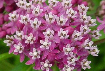 Milkweed: Pflanzung und Pflege in seinem Garten