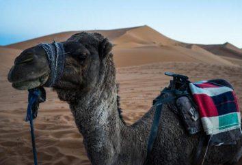 Nar – camello para el hombre y el desierto