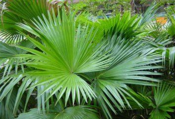 palmy wentylatorów: opieka w domu, zdjęcia