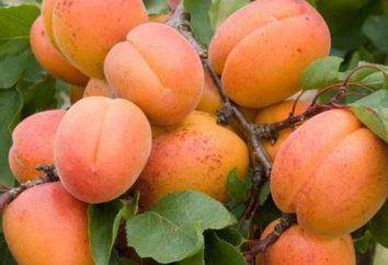 Aprikosen-Wein. hausgemachte Rezepte