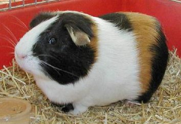 Combien de vies cochon Guinée avec des soins appropriés