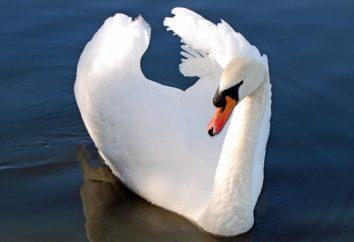 Mute Swan: Beschreibung, Lebensraum und Fotos